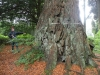 woodstock-inistioge-25-9-2011-sequoiadendron-giganteum-with-a-f-photo-jim-white