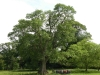 tynan-abbey-17-6-2012-fraxinus-excelsior-champion-tree-photo-jim-white