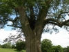 tynan-abbey-17-6-2012-fraxinus-excelsior-with-gerry-douglas-2-photo-jim-white