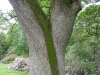 tynan-abbey-17-6-2012-quercus-robur-_-two-trunks-in-one-photo-jim-white