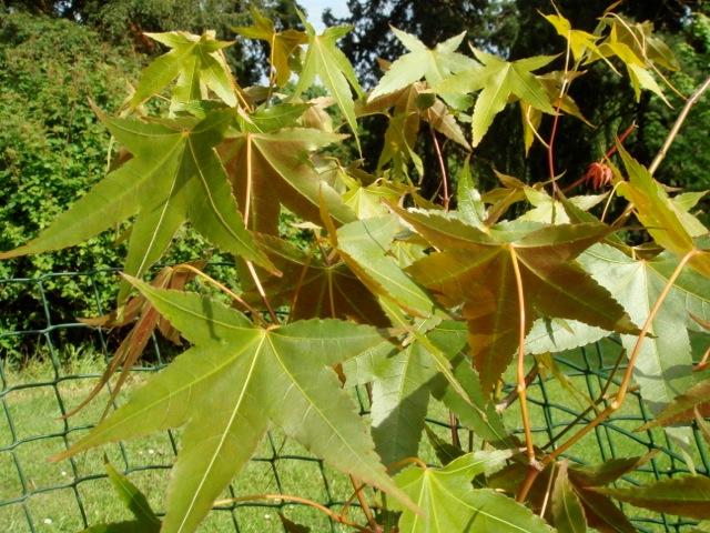 Acer serrulatum - Batsford