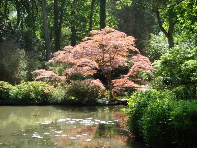 Acer palmatum across lake at Exbury