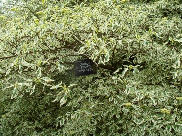 Cornus alternifolia \'Argentea\' - Hilliers