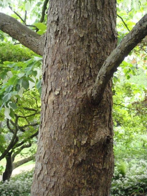Davidia involucrata bark - Batsford