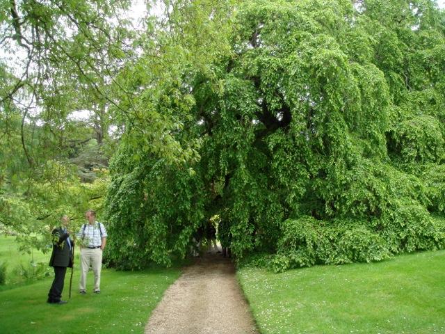 Carpinus betulus \'Pendula\' champion at Sezincote
