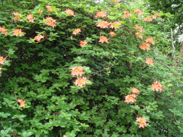 Rhododendron \'Chanticlere\'