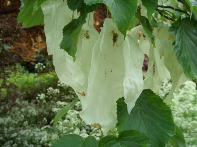 Davidia involucrata flowers - Batsford