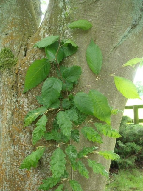 Carpinus betulus f. incisa showing reversions - Sezincote
