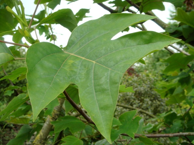 Liriodendron chinensis leaf