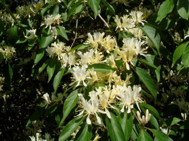 Lonicera quiquelocularis - Exbury