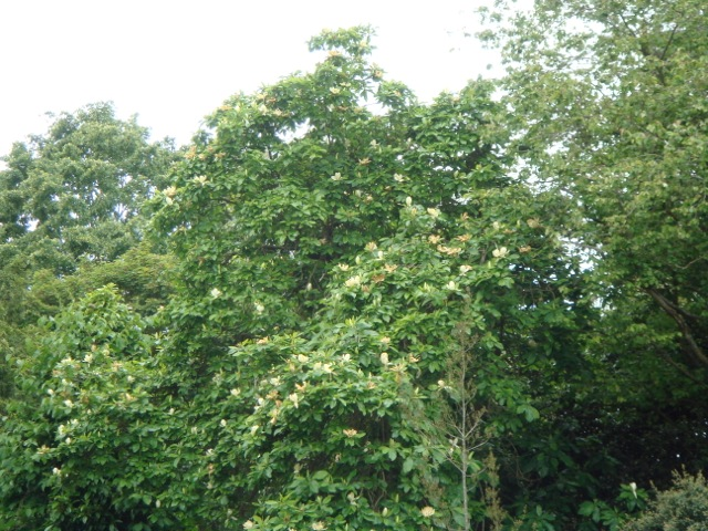 Magnolia x thomsoniana - Hilliers