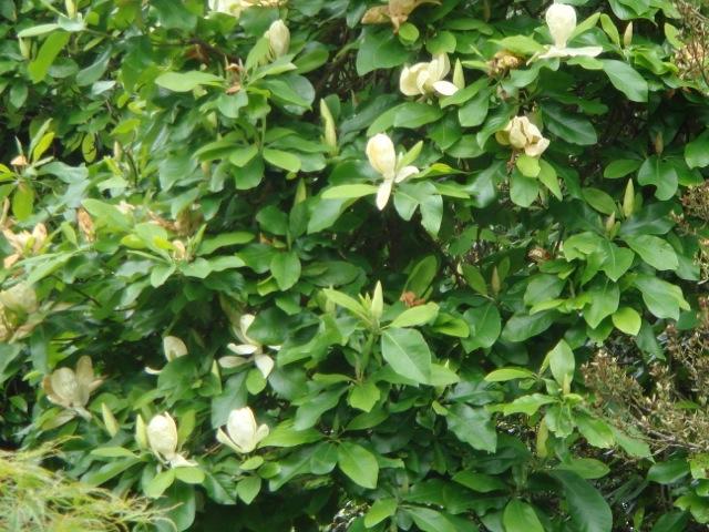 Magnolia x thomsoniana flowers - Hilliers