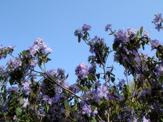 Rhododendron augustinii - Exbury