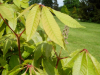 Aesculus indica \'Sidney Pearce\' - Batsford