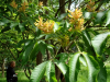 Aesculus - Hilliers