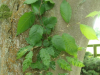 Carpinus betulus f. incisa showing reversions - Sezincote