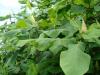Magnolia macrophylla \'Ashei\' - Hilliers