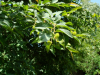 Nothofagus alpina - Exbury