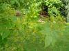 Picrasma quassioides - Batsford