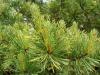 Pinus sylvestris \'Aurea\' Westonbirt School