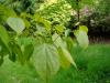 Poliothyrsis sinensis - Batsford
