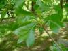 Quercus marilandica leaves - Hilliers