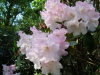 Rhododendron loderi \'Elizabeth\'