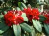Rhododendron \'Leo\' - R.\'Britannia\' x R.elliottii - Exbury