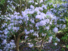 Rhododendron augustinii at Exbury