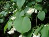 Styrax obassia - Hilliers