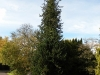 kildangan-stud-22-9-2012-chamaecyparis-lawsoniana-wisselii-1-photo-jim-white