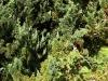 kildangan-stud-22-9-2012-chamaecyparis-lawsoniana-wisselii-2-photo-jim-white