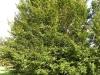 kildangan-stud-22-9-2012-fagus-sylvatica-rotundifolia-1-photo-jim-white