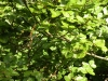 kildangan-stud-22-9-2012-fagus-sylvatica-rotundifolia-2-photo-jim-white