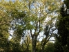 kildangan-stud-22-9-2012-meliosma-veitchiorum-champion-tree-photo-jim-white