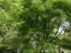 kildangan-stud-22-9-2012-platycarya-strobilacea-1-photo-jim-white