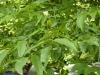 kildangan-stud-22-9-2012-platycarya-strobilacea-2-photo-jim-white