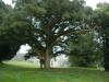 2nd biggest? Quercus suber  at Salterbridge