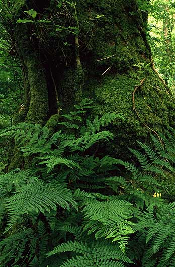 Ferns at the base of a tree